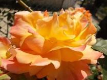 vertine fiori giugno (15)