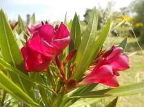 vertine fiori giugno 2021 (16)