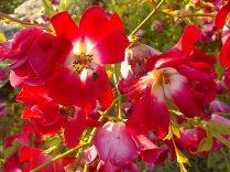 vertine fiori giugno 2021 (27)