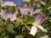 vertine fiori giugno (9)