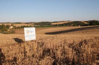 berardenga, il grano della carta del mulino (13)