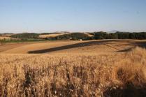berardenga, il grano della carta del mulino (3)