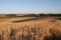 berardenga, il grano della carta del mulino (4)
