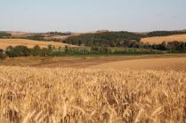 berardenga, il grano della carta del mulino (5)