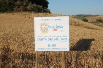 berardenga, il grano della carta del mulino (7)