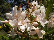 fioriture mese di luglio (6)