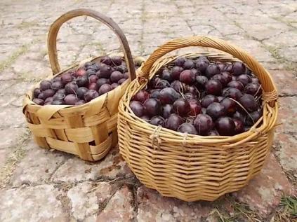 raccolta susine rosse (1)