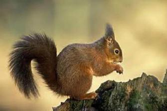 scoiattolo-villa-chigi-saracini