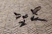 signora che getta pane bagnato ai piccioni piazza del campo (14)