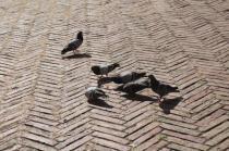 signora che getta pane bagnato ai piccioni piazza del campo (15)