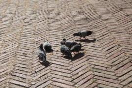 signora che getta pane bagnato ai piccioni piazza del campo (16)