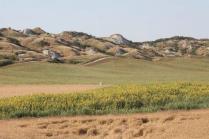 girasoli-biancane-leonina-grano-19