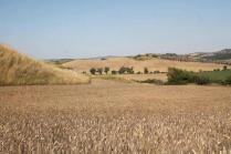 girasoli-biancane-leonina-grano-5