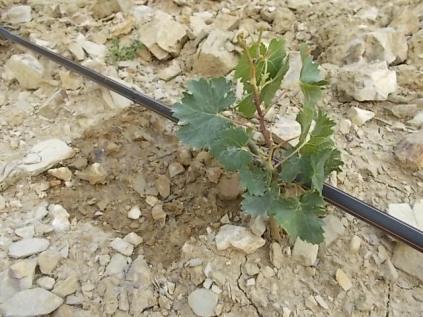 irrigazione a goccia di un vigneto (18)