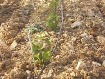 irrigazione a goccia di un vigneto (2)