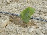 irrigazione a goccia di un vigneto (20)