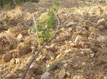 irrigazione a goccia di un vigneto (3)
