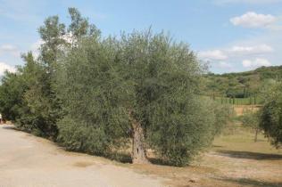 ulivi carichi di olive sant'antimo (10)
