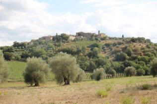 ulivi carichi di olive sant'antimo (12)