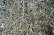 ulivi carichi di olive sant'antimo (2)