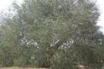 ulivi carichi di olive sant'antimo (5)