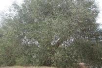 ulivi carichi di olive sant'antimo (6)