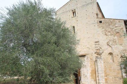 ulivi carichi di olive sant'antimo (7)
