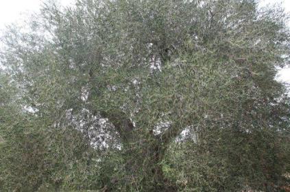 ulivi carichi di olive sant'antimo (8)
