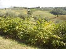 ailanto della berardenga (7)