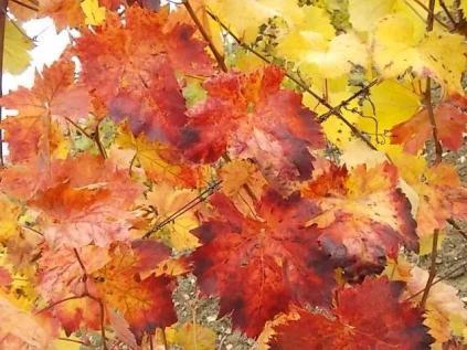 foglie-canaiolo-vertine-3