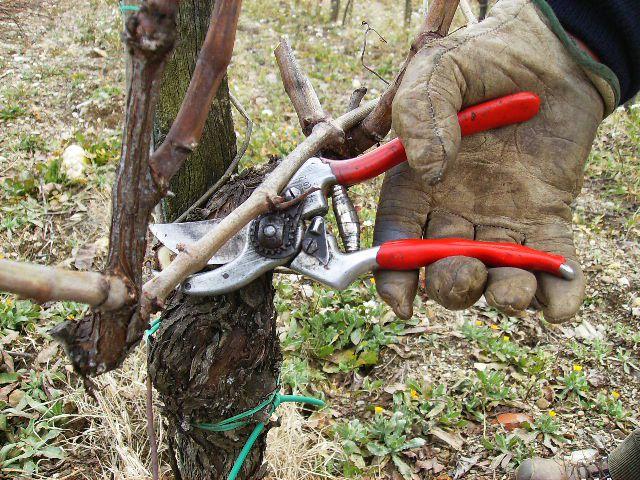 potatura-vigna a vertine