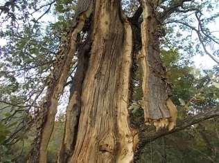 quercia colpita da fulmine vertine estate 2021 (11)