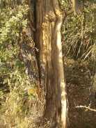 quercia colpita da fulmine vertine estate 2021 (2)