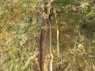 quercia colpita da fulmine vertine estate 2021 (4)