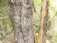 quercia colpita da fulmine vertine estate 2021 (5)