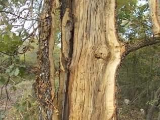 quercia colpita da fulmine vertine estate 2021 (6)