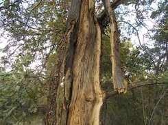 quercia colpita da fulmine vertine estate 2021 (7)