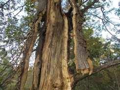 quercia colpita da fulmine vertine estate 2021 (9)