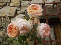 rose antiche chiesa vertine (1)