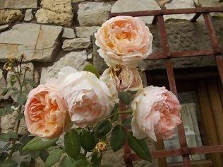 rose antiche chiesa vertine (2)