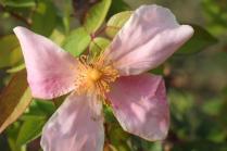 rosellina (2)