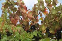 uva autunno (1)