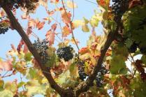 uva autunno (2)