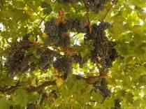 uva pergola vitarium san felice (1)