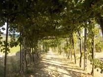 uva pergola vitarium san felice (3)