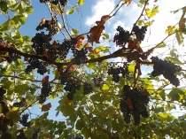 uva pergola vitarium san felice (4)