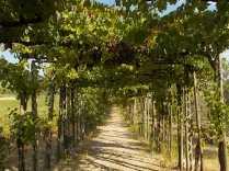 uva pergola vitarium san felice (5)