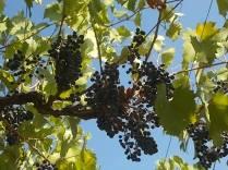 uva pergola vitarium san felice (6)