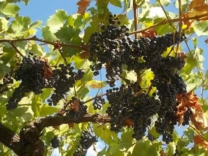 uva pergola vitarium san felice (8)