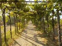 uva pergola vitarium san felice (9)